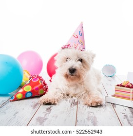 West Highland terrier  with happy birthday cake,a party hat ,on wood , isolated on white background