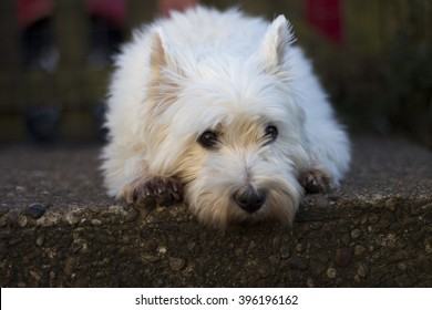 West Highland Terrier laid on step