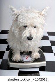 West Highland Terrier on a scale