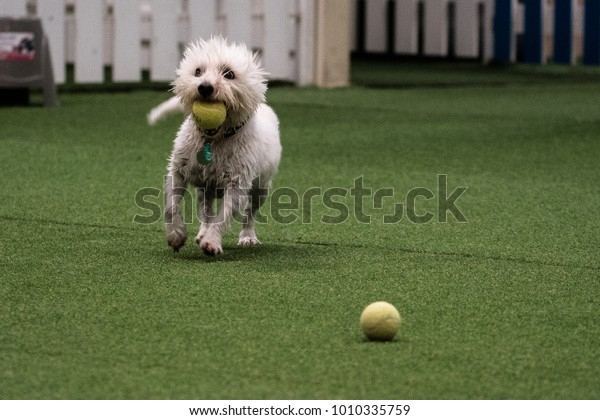 West highland terrier playing fetch at an indoor play park