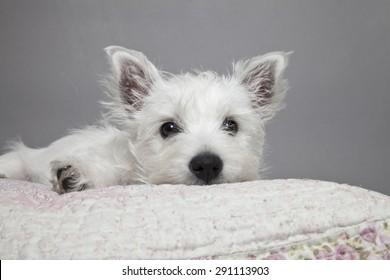 West highland terrier puppy on pillow, westie puppy