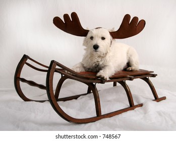 West Highland Terrier with reindeer antlers sitting on sled