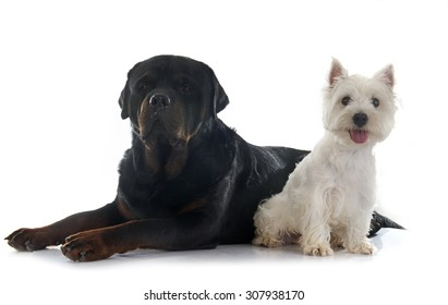 west highland terrier and rottweiler in front of white background