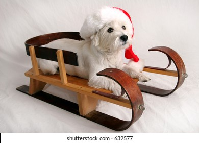 West Highland Terrier with Santa cap sitting on sled