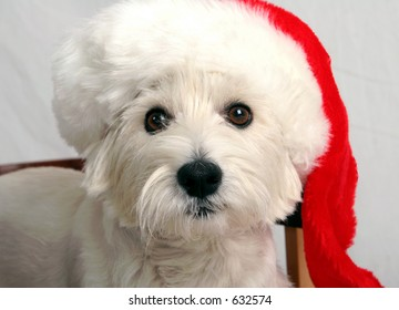West Highland Terrier with Santa Claus hat on
