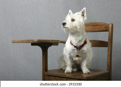 West Highland Terrier sitting at attention on an old-fashion school desk