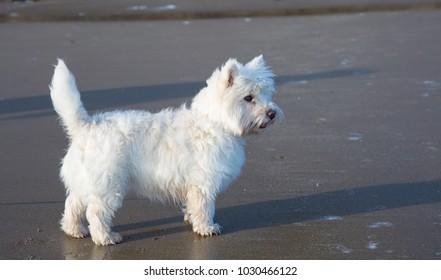 West Highland Terrier standing on a sandy beach