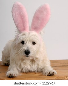 West Highland Terrier wearing a pair of pink Easter bunny ears