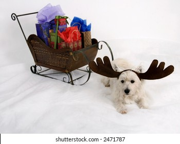 West Highland Terrier wearing reindeer antlers and sitting in front of a miniature sleigh full of Christmas presents
