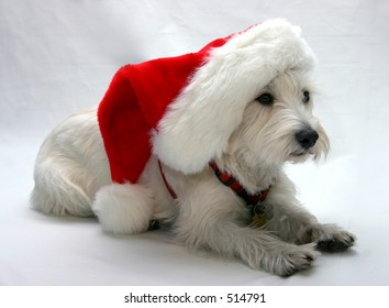 West Highland Terrier wearing a Santa hat