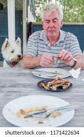 West highland terrier westie dog watching retired caucasian man pick at bones after meal