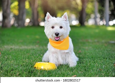 West highland terrier in yellow fabric collar having dinner at the lawn