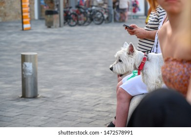 West Highland white pedigree dog standing on a harbour wall in L'Escala Catalonia Costa Brava Spain