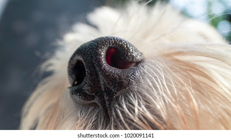 West highland white terrier dog nose close-up.