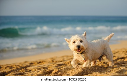 West Highland White Terrier dog outdoor portrait walking along ocean beach with waves