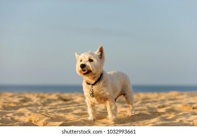 West Highland White Terrier dog outdoor portrait standing on sand beach