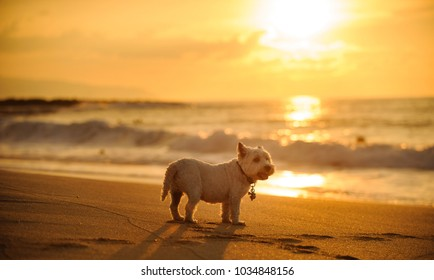 West Highland White Terrier dog outdoor portrait standing on beach at sunset