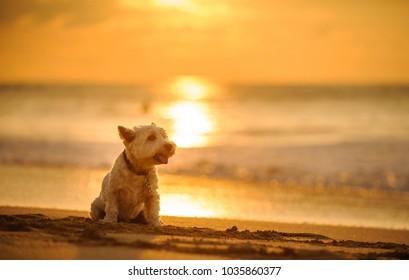 West Highland White Terrier dog outdoor portrait sitting on beach at sunset