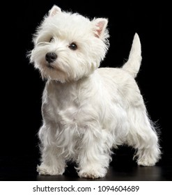 West highland white terrier Dog  Isolated  on Black Background in studio