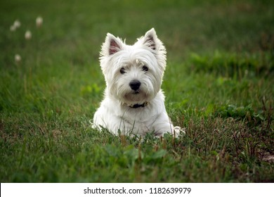 west highland white terrier dog breed, lies on the green grass in the evening on the nature, small black eyes look to the camera, white hair, cute animal,