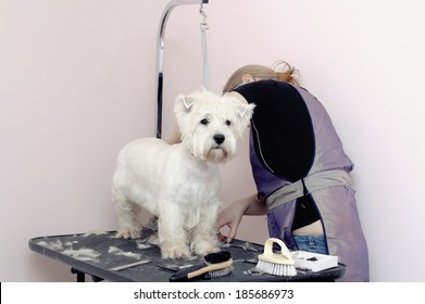 West Highland White Terrier dog haircut at the beauty salon for animals.