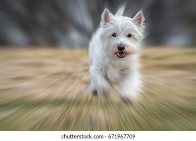 West Highland white terrier dog sprints very fast over a meadow