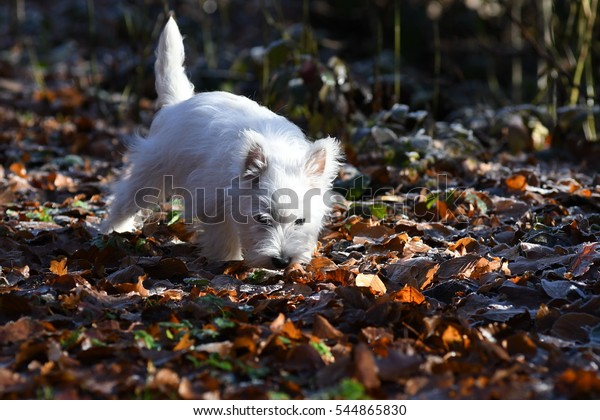 West Highland White Terrier in forest