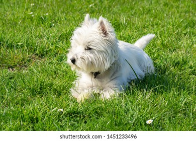 West Highland White terrier in the garden