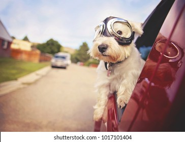 west highland white terrier with goggles on riding in a car with the window down through an urban city neighborhood on a warm sunny summer day toned with a retro vintage instagram filter