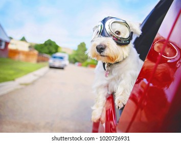 west highland white terrier with goggles on riding in a car with the window down through an urban city neighborhood on a warm sunny summer day