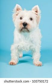 West Highland White Terrier isolated on light blue background. Studio shot.