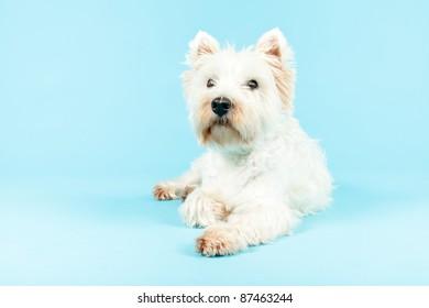West Highland White Terrier isolated on light blue background