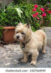 West Highland White Terrier known as Westie in the garden. Small Poltalloch or Roseneath Terrier stands on the sidewalk tile. Dirty white Westy dog with a black nose and with pointed and straight ears