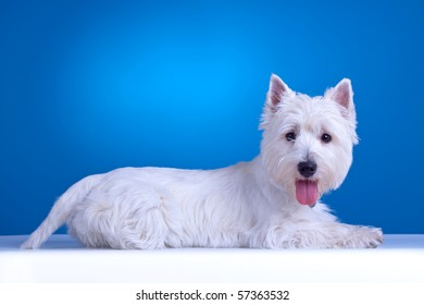 west highland white terrier laying down , against blue background