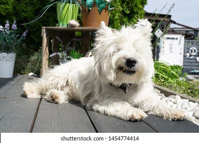 West Highland White Terrier is lying on the terrace in the sun