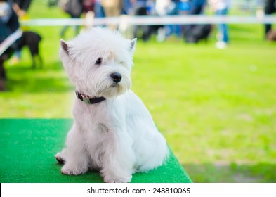 west highland white terrier on an exhibition outdoors