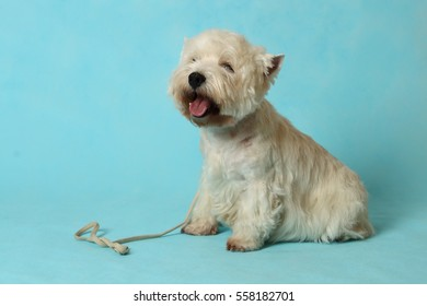 The West highland white Terrier on blue background.