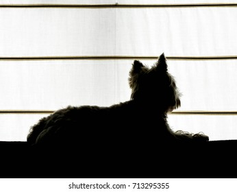 West highland white terrier on a couch looking through the window