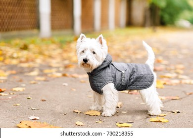 west highland white terrier playing in the park on the autumn foliage. gold nature. dog wearing in grey coat