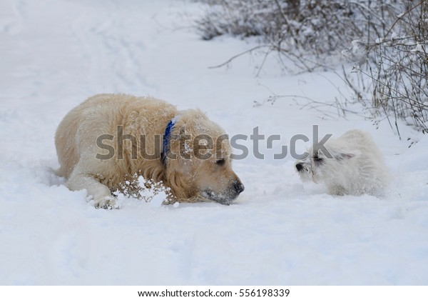 West Highland White Terrier playing with a Golden Retriever