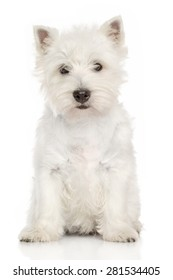 West Highland White terrier puppy sits on a white background