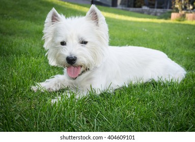 West Highland White Terrier Nature Stock Photo Edit Now 1069592498
