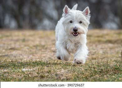 West Highland White Terrier running on a meadow