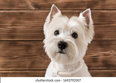 West highland white Terrier sits on a wooden background