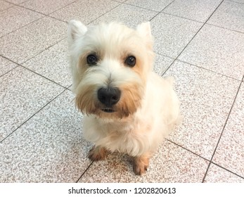 West Highland White Terrier sitting on the floor with happy face