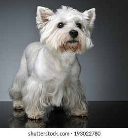 West Highland White Terrier staying on the studio table