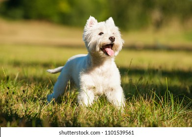 West highland white terrier in a summer meadow