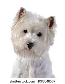 West Highland White Terrier, Westie  dog head-shot portrait, isolated on white background.