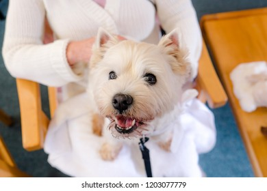 West highland white terrier westie therapy dog on lap of adult person in retirement care home in New Zealand, NZ