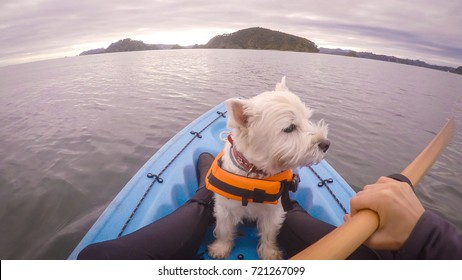 West highland white terrier westie dog wearing life jacket kayaking in Paihia, Bay of Islands, New Zealand, NZ